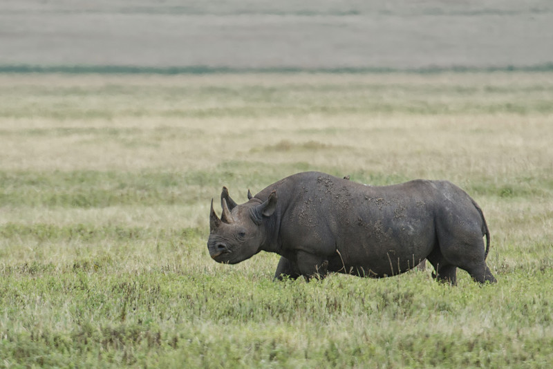Black Rhino, Ngorongoro Crater NP, Tanzania.  Rare and elusive.  We were fortunate to see these on more than one day.  We also saw one on our first game drive in Masai Mara, Kenya.  They were difficult to photograph given their distance.