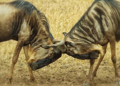 Wildebeest bulls