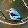 Kingfisher, Ngorongoro Crater NP