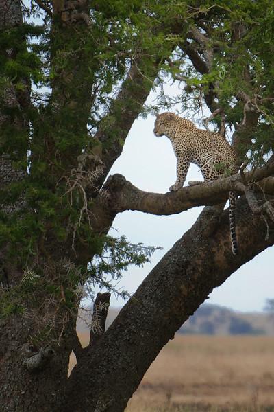 Leopard, Serengeti