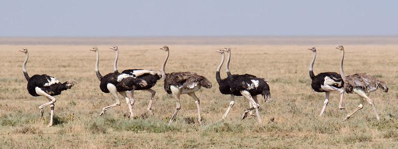 Ostriches in Ndutu Plains