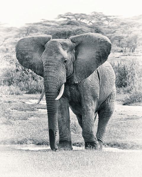 Elephant in Ndutu