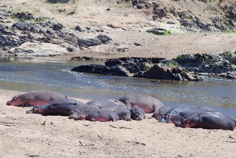 Sunbathing hippos