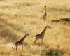 A Journey of Giraffes in Masai Mara