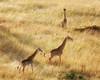 A Journey of Giraffes in Masai Mara