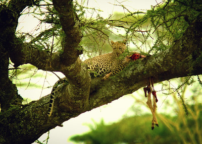 Leopard with fresh kill