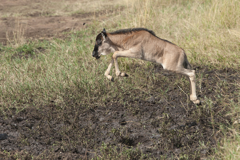 """WIF"" (Wildebeest In Flight) calf avoiding the mud"