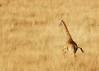 Giraffe on the run, Masai Mara