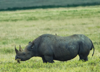 Rare Black Rhino...Ngorongoro Crater.  They were one of the most elusive animals we saw...always stayed several hundred yards away from the roads.