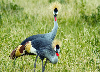 African Crowned Cranes.