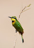 Bee-eater, near Mara River. Masai Mara
