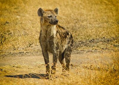 Masai Mara Hyena