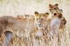 Lion pride, Masai Mara