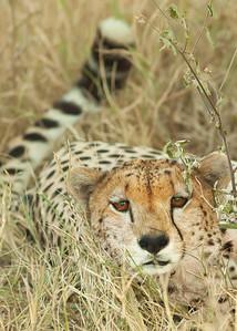 Cheetah, Masai Mara, NP