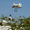 sacred ibises