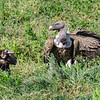 Hooded and Ruppell's vultures