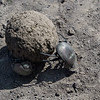 Dung beetles rolling dung