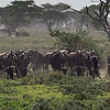 Wildebeest migration snack break