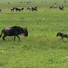 Newborn wildebeest, with mother, about to be attacked by hyena