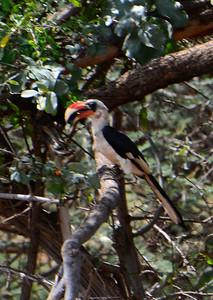 Van der Decken Hornbill
