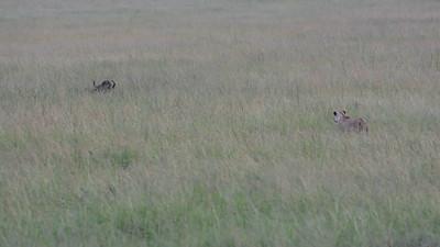 Lioness stalking Buffalo