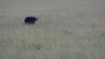 Lioness vs Buffalo