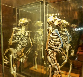 "A replica of ""Lucy"" the 3.2 million year old humanoid in the National Museum.  The actual Lucy was on tour in the US when I was in Ethiopia.  She is now back in Addis."