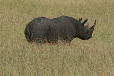 A black rhino, one of three we saw.