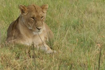 The lion bride