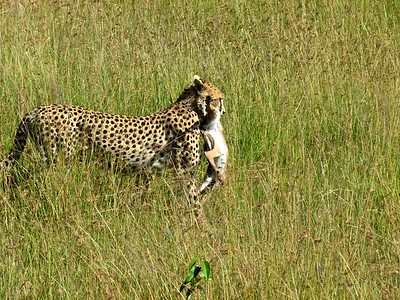 Cheetah gazelle delivery service.
