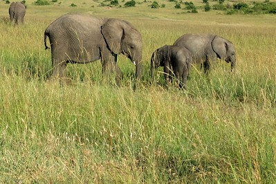 Young elephants in the Masai Mara.