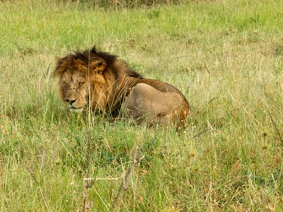 Male lion honeymooner in the Mara.
