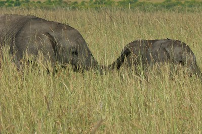 Young elephants in the Masai Mara