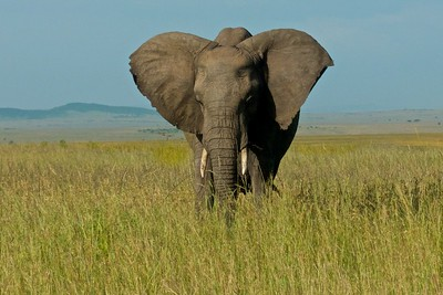 Adult elephant on the Mara savannah.  This is one of my favorite photos.