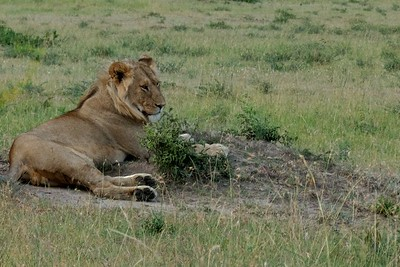 The first lion we saw in the Mara.  He is probably about two years old.  Notice the mane.