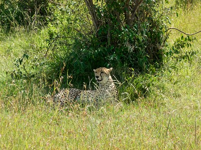 Cheetah looking for lunch perhaps?