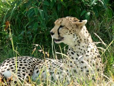 A beautiful cheetah relaxing on the Mara savannah.