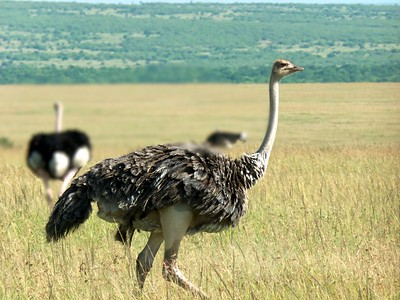 Female ostrich with male ostrich in background.