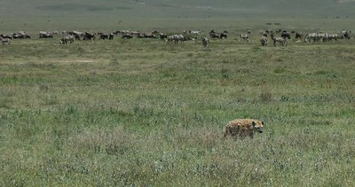 Hyena seen walking on the crater floor away from the grazing herds.