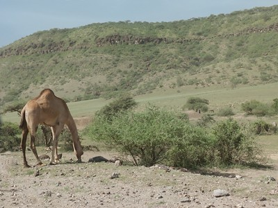 Camel on the Ngorongoro Highlands.