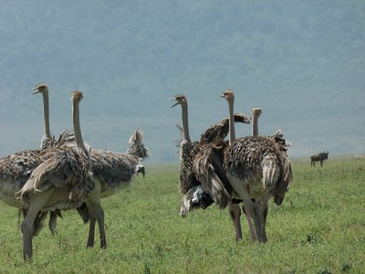Female ostriches.