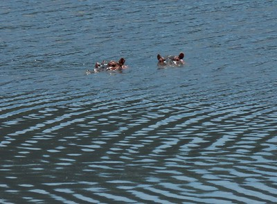 Hippos enjoying an afternoon swim in the lake near the tourist lunch spot in the crater.