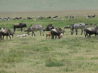 Wildebeest and zebras grazing on the crater floor.