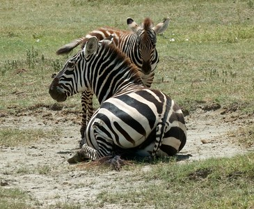 Mother and baby zebra.