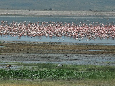 Flamingos on one of the saline lakes within the Crater.