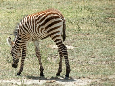 Young zebra grazing in the Crater.