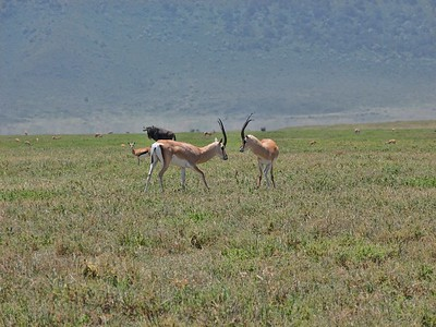 Grant's gazelles playing.