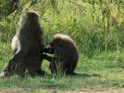 Baboon being groomed