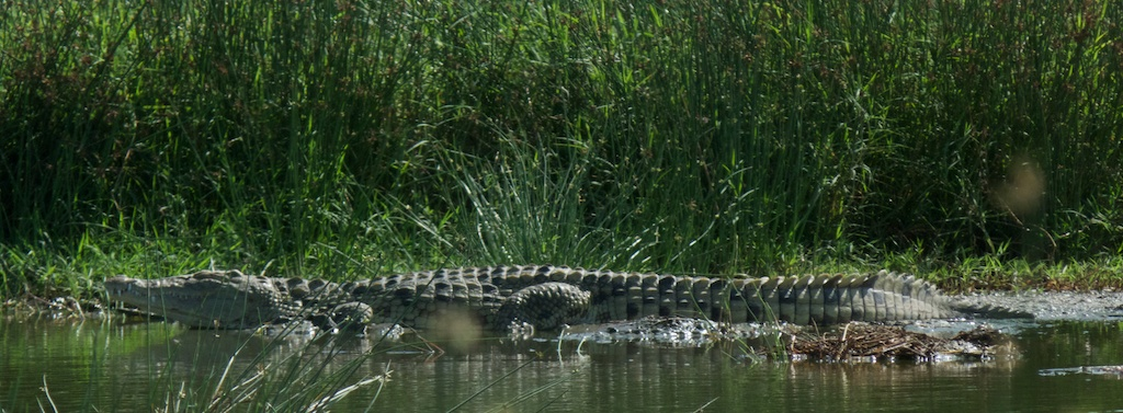 A lone crocodile relaxing.