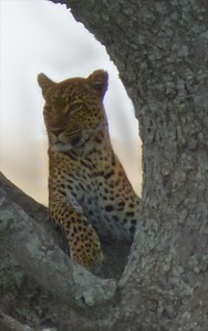 The mother leopard.